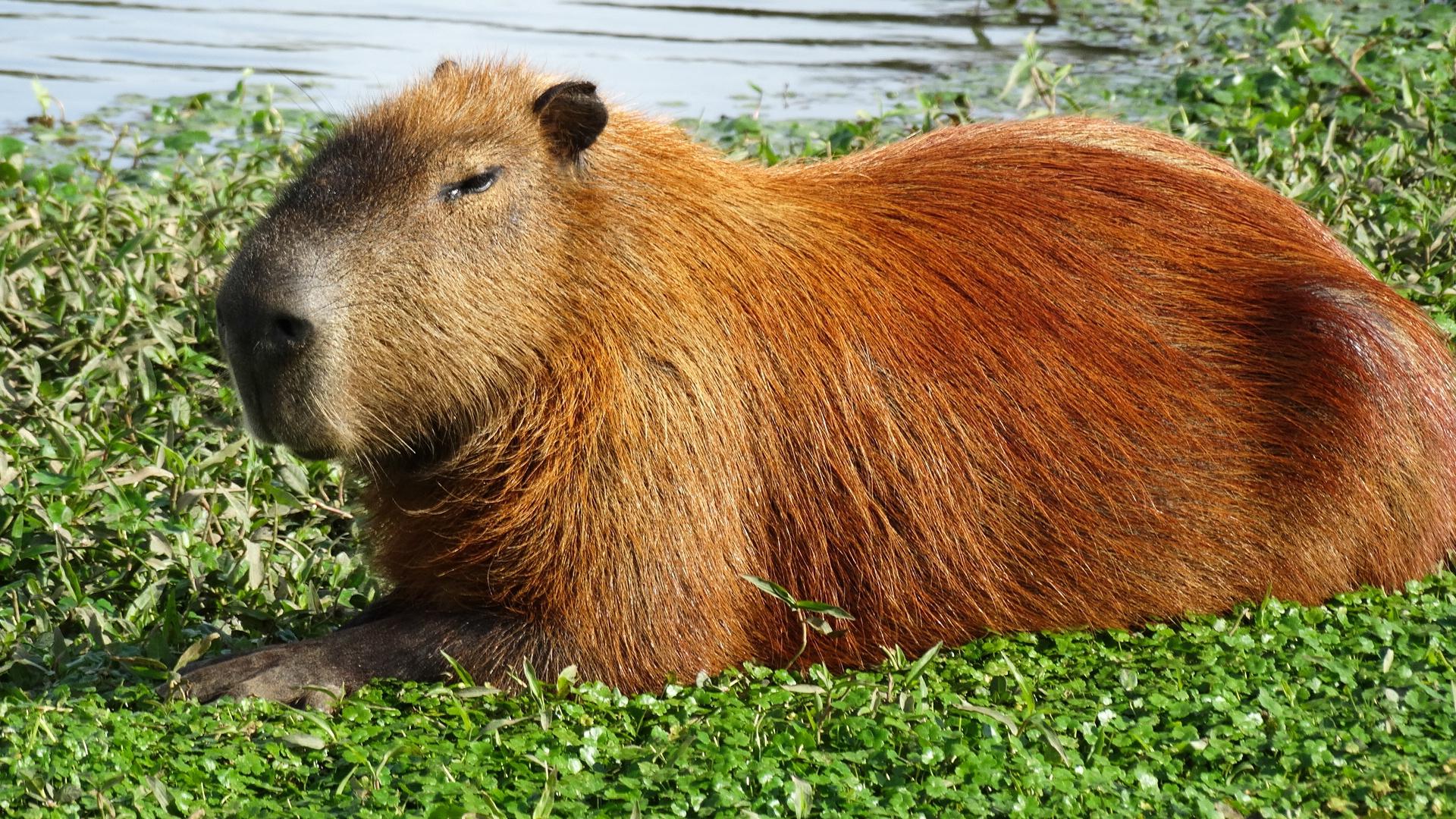 Capybara Hd Wallpaper