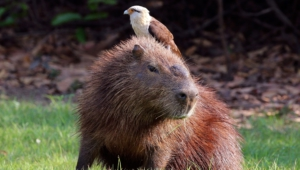 Capybara High Definition