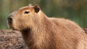 Capybara High Definition Wallpapers