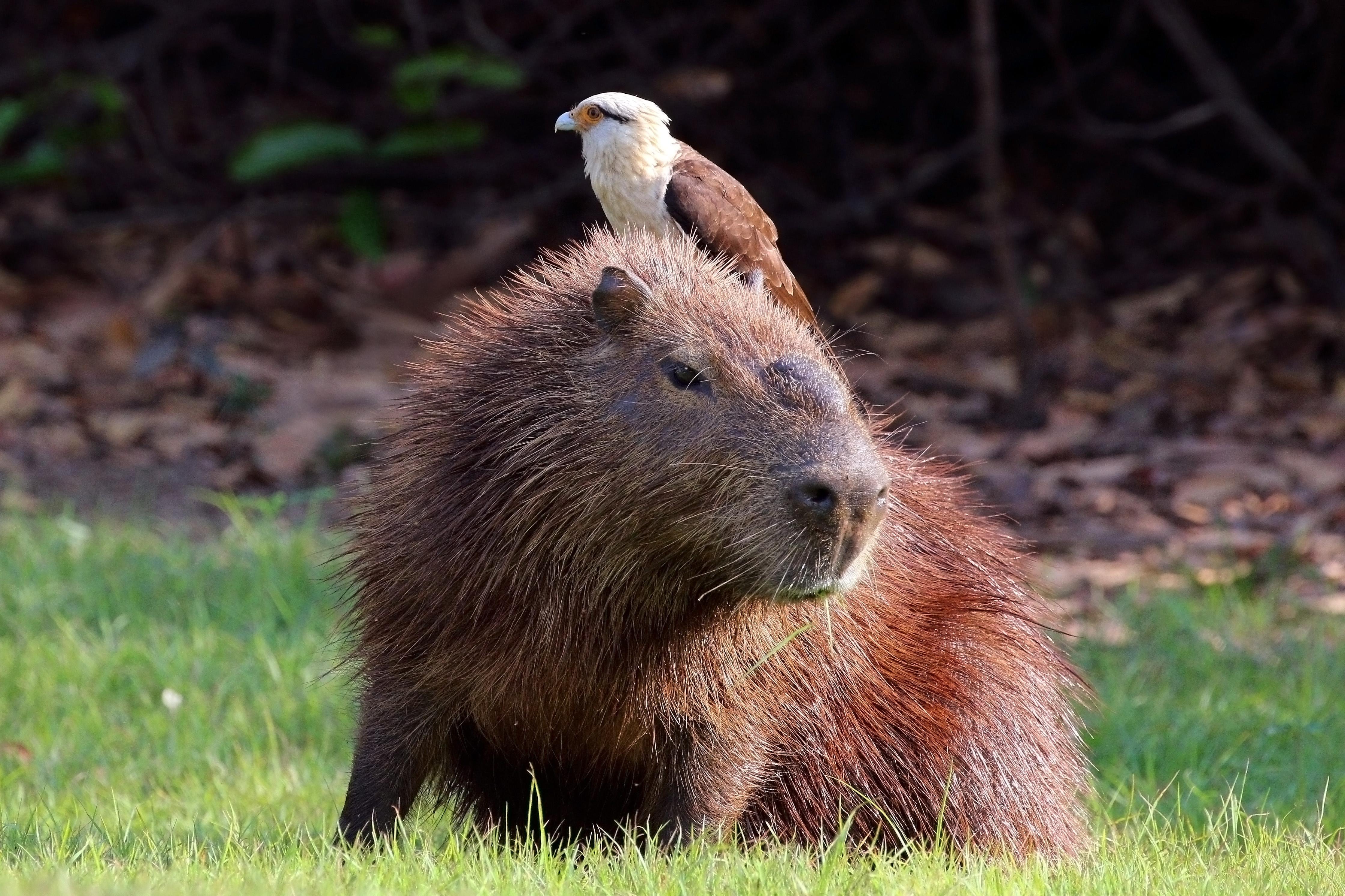 Capybara High Definition