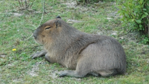 Capybara High Quality Wallpapers