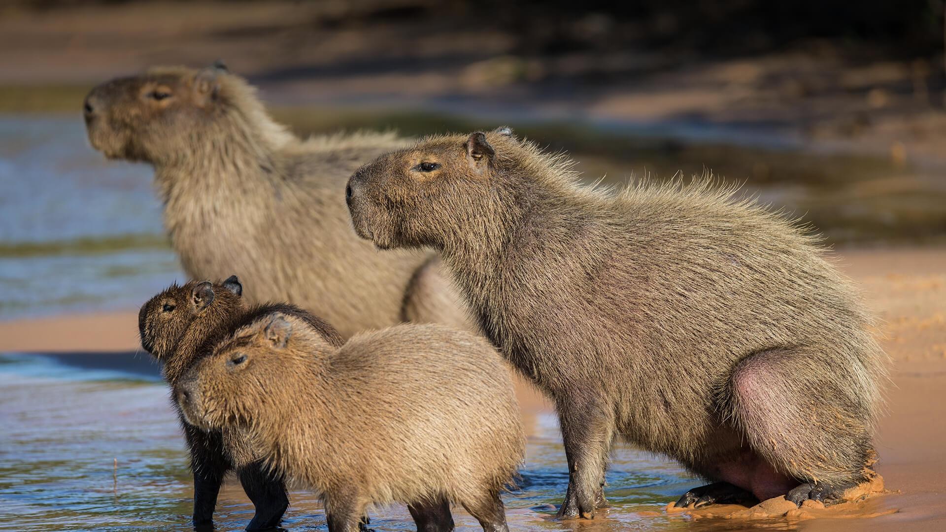 Capybara Images