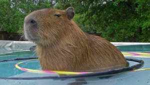 Capybara Wallpapers Hd