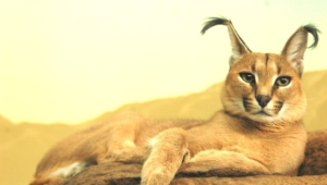 Caracal Background