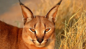 Caracal Computer Backgrounds