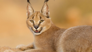Caracal Hd Background