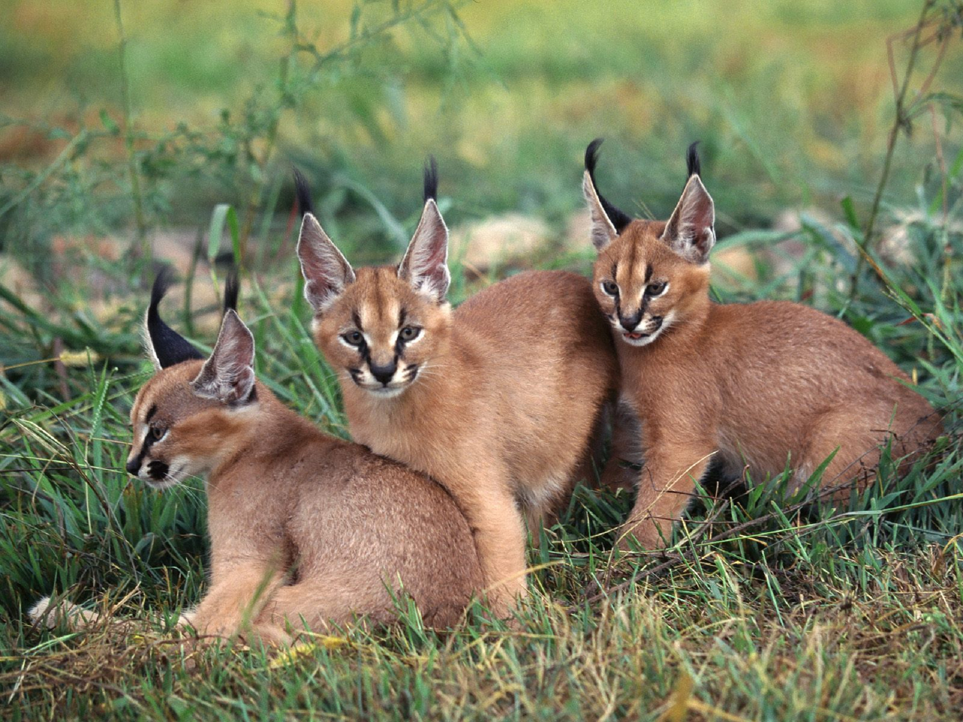 Caracal High Definition Wallpapers
