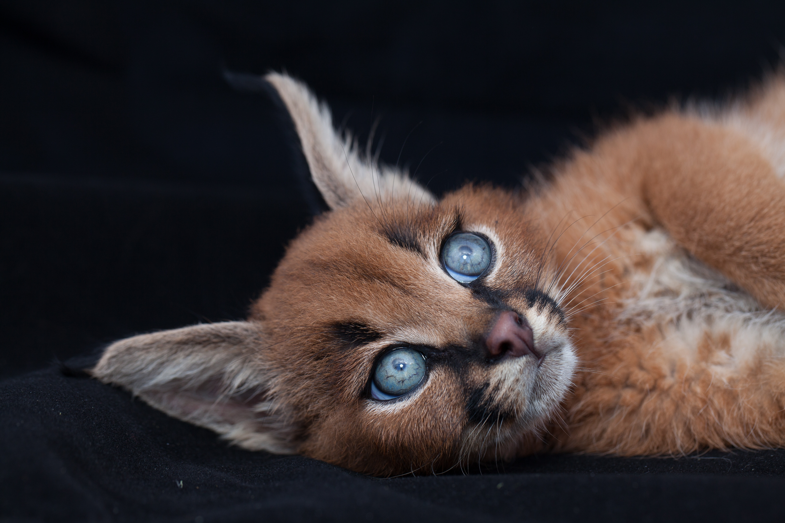 Caracal Pictures