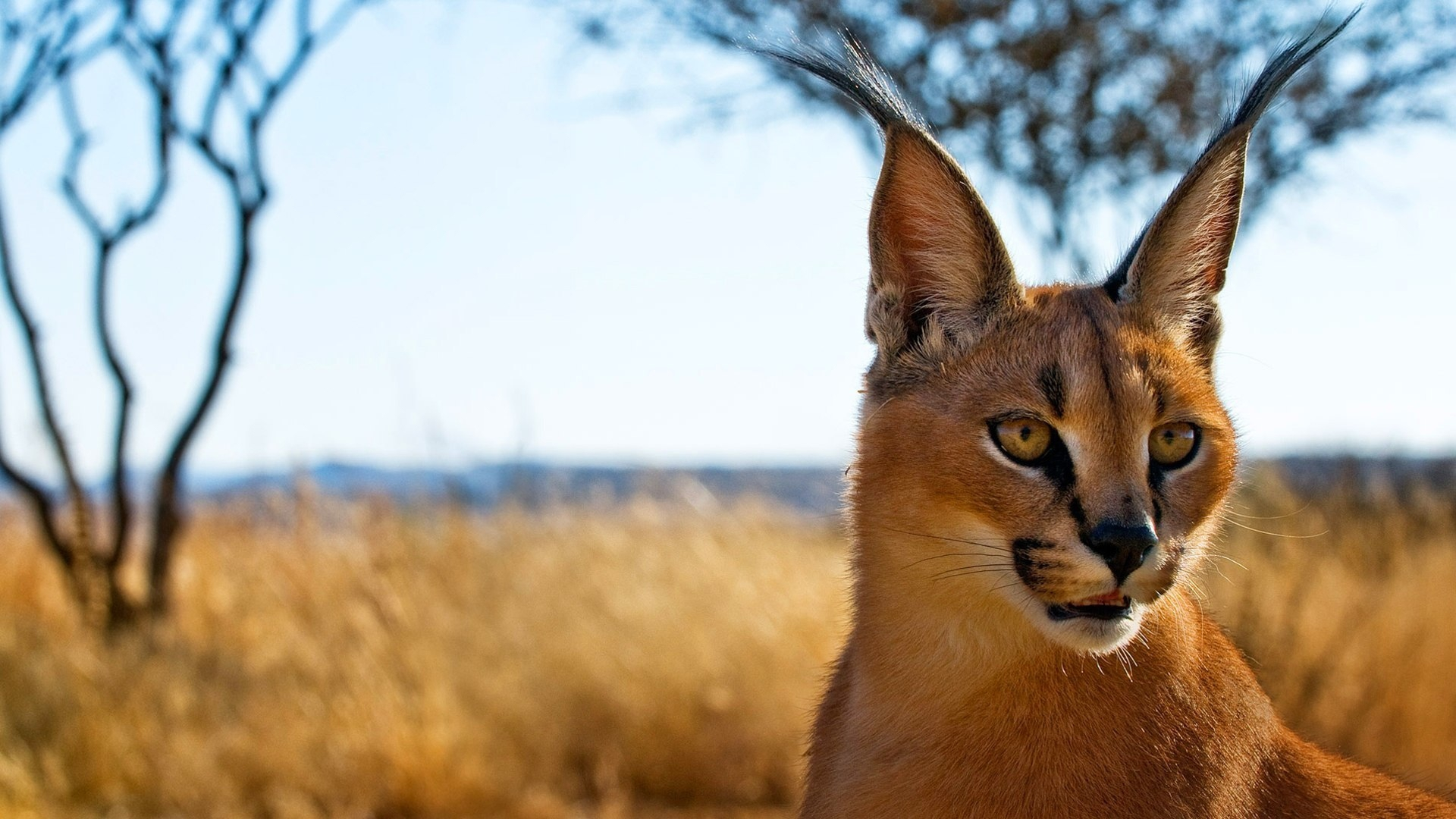 Caracal Wallpaper For Computer
