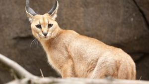 Caracal Full Hd