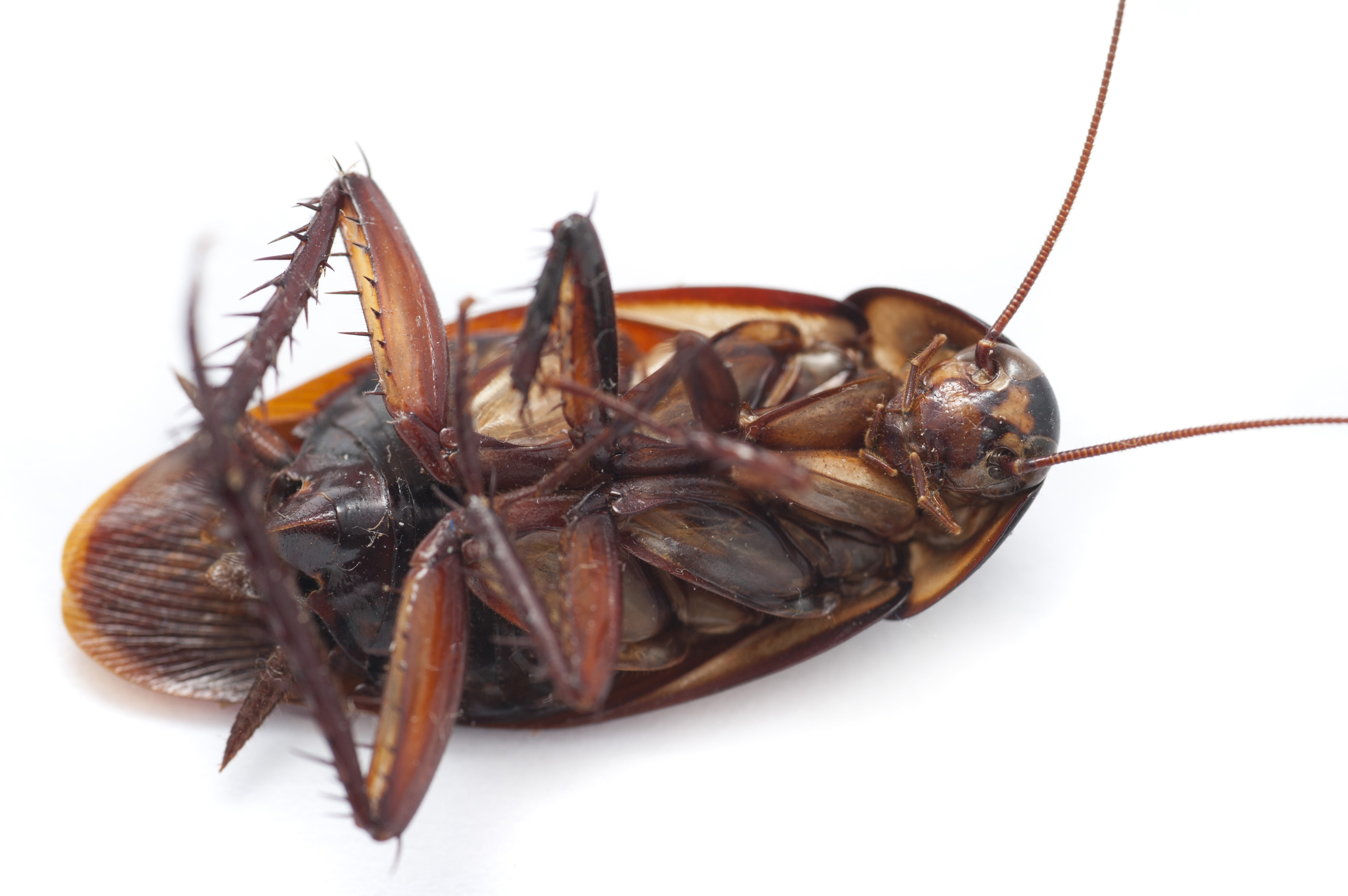 Cockroach Widescreen