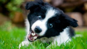 Collie Wallpapers Hd