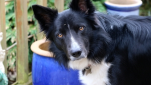 Collie Widescreen