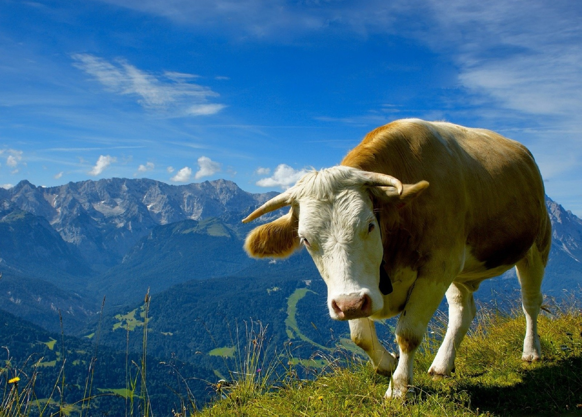 Cow Wallpapers Images Pictures Backgrounds