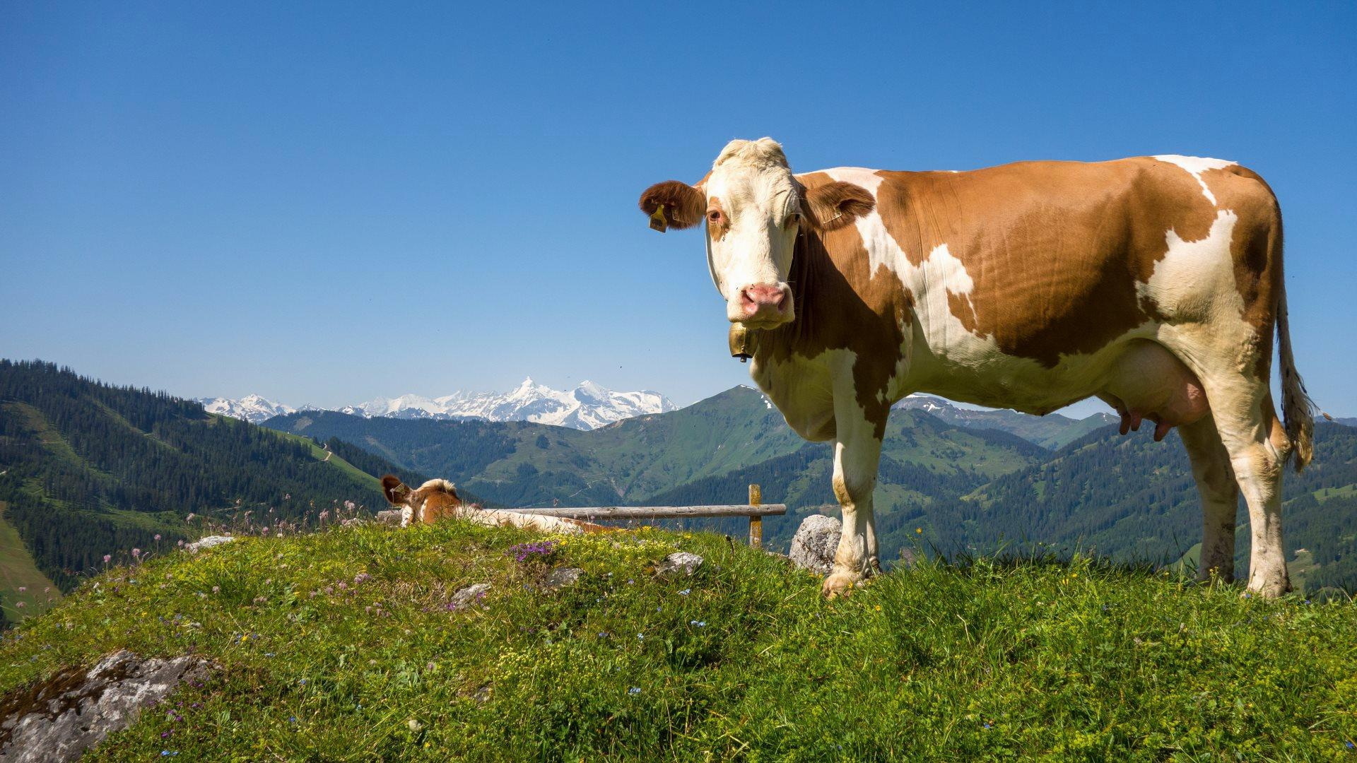 Best HD Wallpaper'-s Collection: Cows Wallpapers (44) of Cows ...