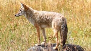Coyote Hd