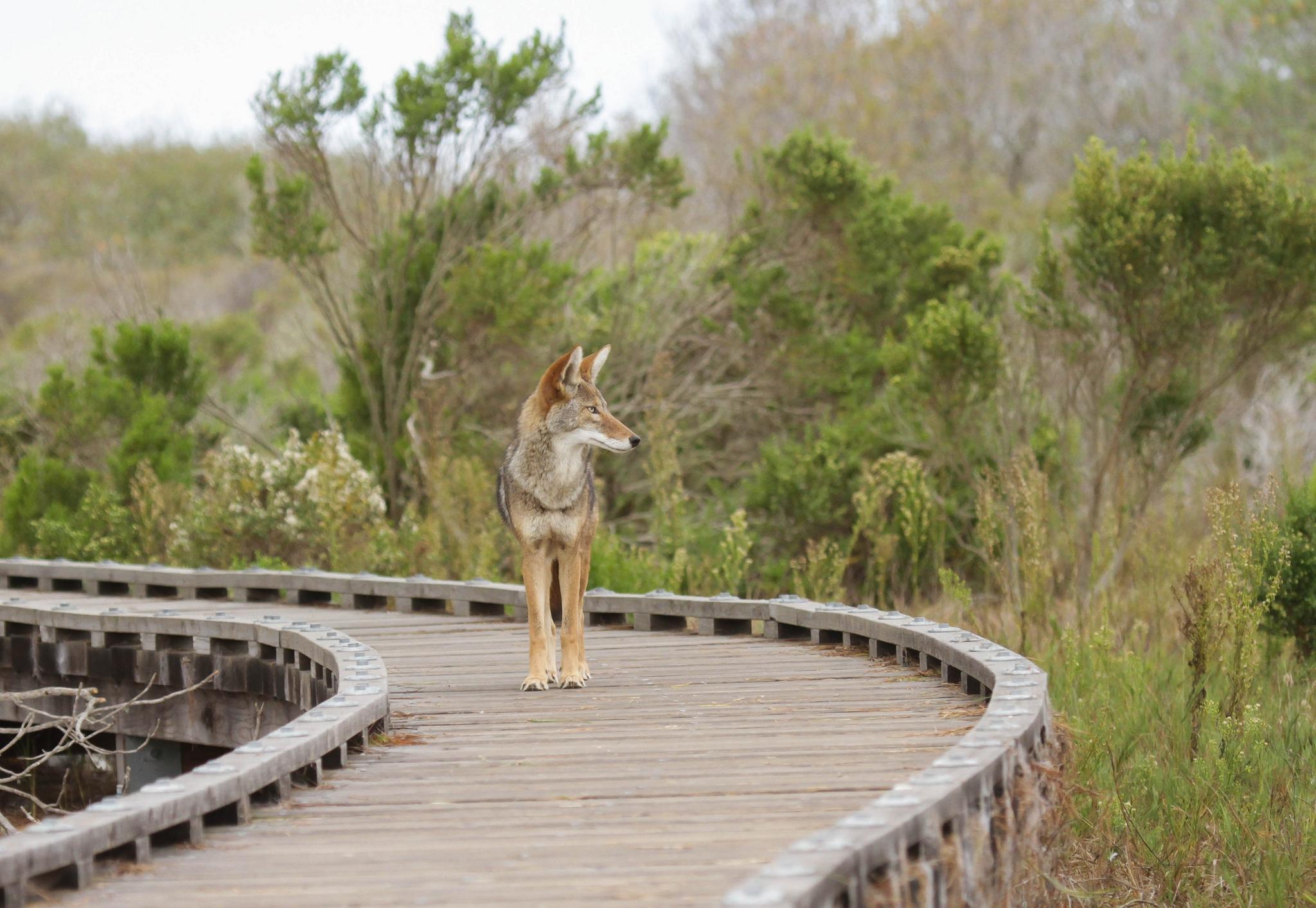 Coyote Widescreen