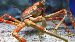 Crab Full Hd