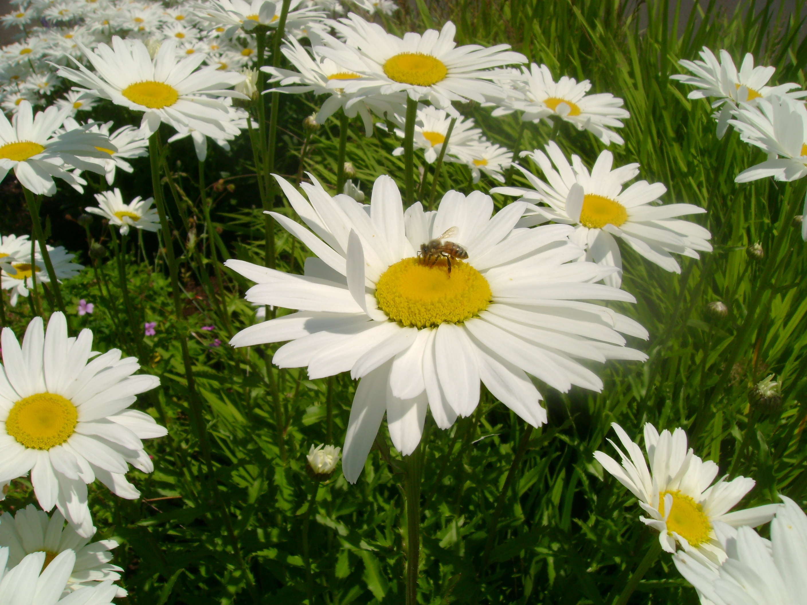 Daisy Wallpapers Images Photos Pictures Backgrounds HD Wallpapers Download Free Images Wallpaper [1000image.com]