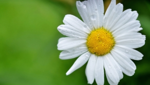 Daisy Hd Wallpaper