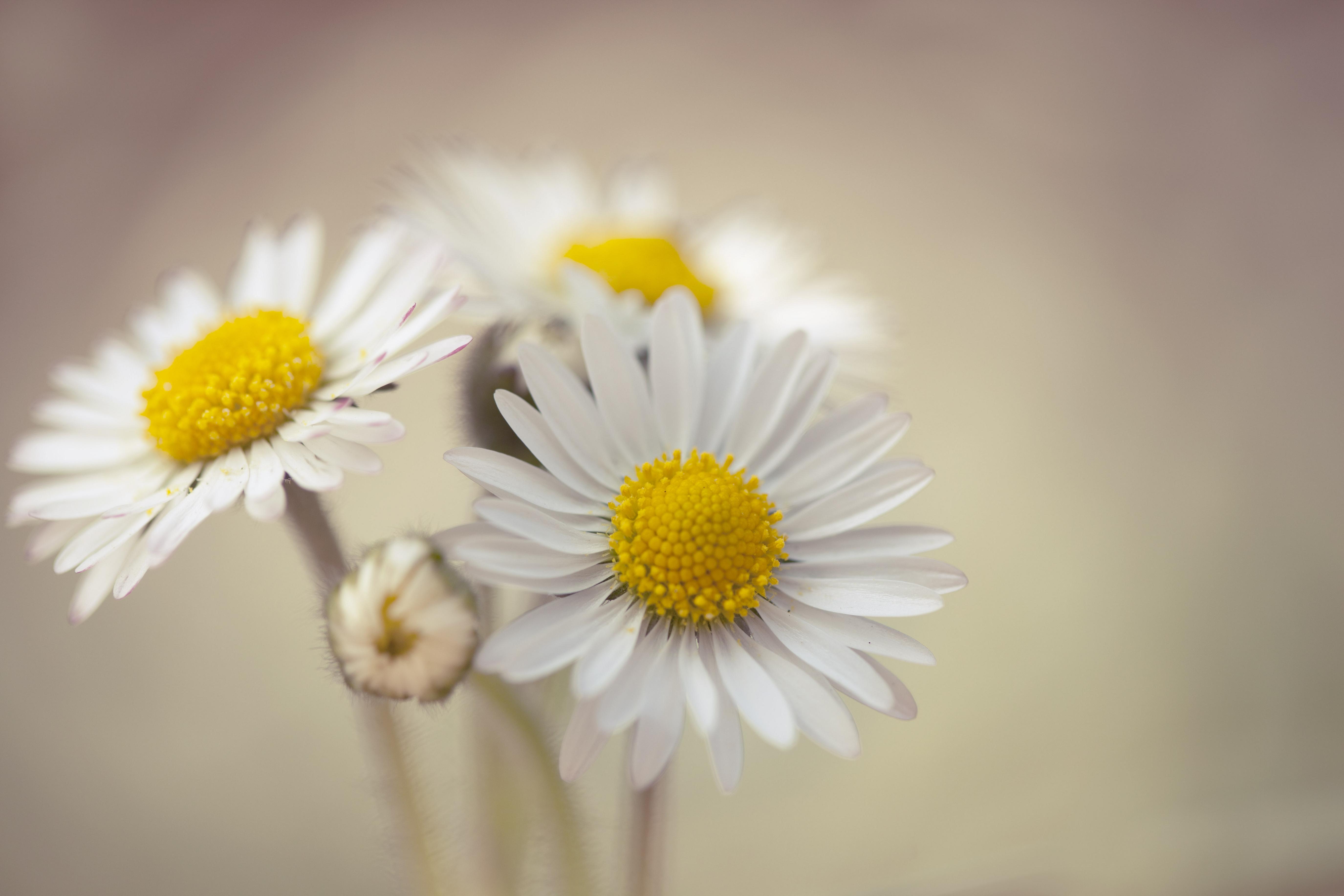 oxeye daisy - Wiktionary