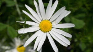 Daisy Widescreen
