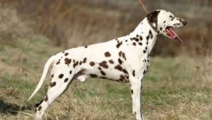 Dalmatian Background