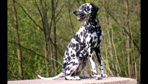 Dalmatian Hd