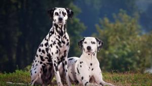 Dalmatian High Definition