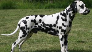 Dalmatian Pictures