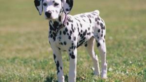 Dalmatian Wallpapers Hd