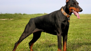 Doberman Pinscher Hd Background