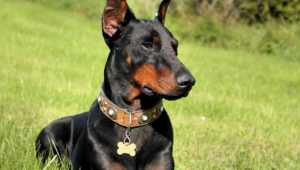 Doberman Pinscher Hd Wallpaper