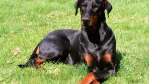 Doberman Pinscher High Definition Wallpapers