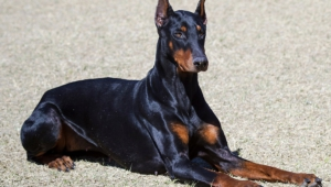 Doberman Pinscher Photos