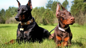 Doberman Pinscher Wallpapers Hd