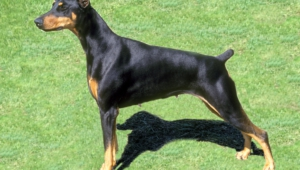 Doberman Pinscher Widescreen