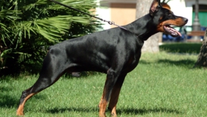 Doberman Pinscher Full Hd