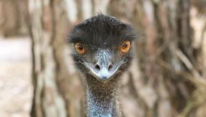 Emu Background