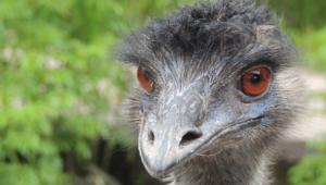 Emu Hd Wallpaper