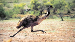 Emu Wallpaper