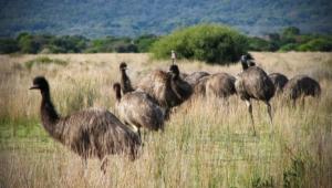 Emu Wallpapers
