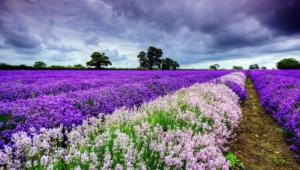 Flower Fields Background