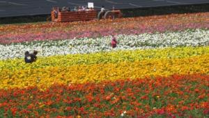 Flower Fields Computer Backgrounds
