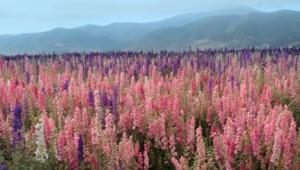 Flower Fields Desktop Images