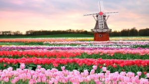 Flower Fields High Definition