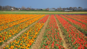 Flower Fields Images