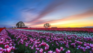 Flower Fields Pictures