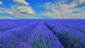 Flower Fields Wallpaper