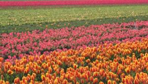Flower Fields Wallpapers